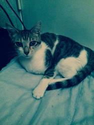 Cami, chat Européen