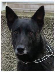 Campbell, chien Berger hollandais