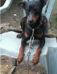 Camy, chien Pinscher