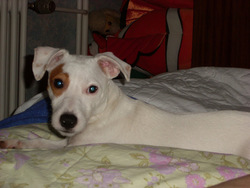 Canail, chien Jack Russell Terrier