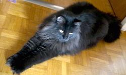 Canaille, chat Norvégien