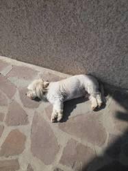 Canaille, chien Coton de Tuléar