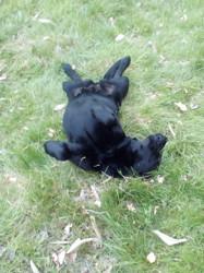 Canaille, chien Labrador Retriever
