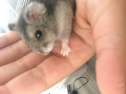 Canaille, rongeur Hamster
