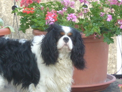 Canaille, chien Cavalier King Charles Spaniel