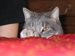 Canaille , chat