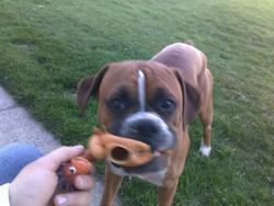 Canaille, chien Boxer