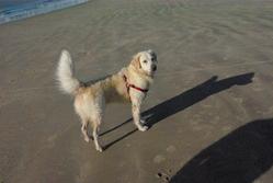 Canaille, chien Golden Retriever