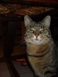 Canaille, chat Européen