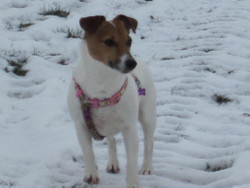 Canaille, chien Jack Russell Terrier
