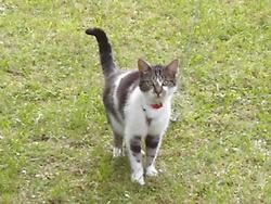 Canaille , chat Européen