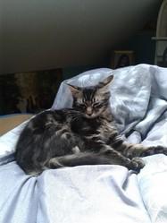 Canaille, chat Angora turc