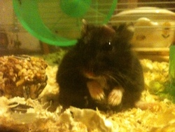 Canan, rongeur Hamster