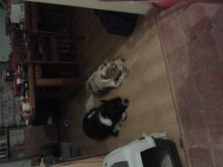 Canao, chien Épagneul breton