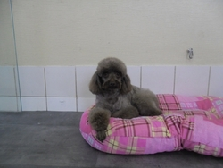 Cancun, chien Caniche