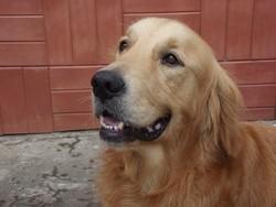 Candgee, chien Golden Retriever