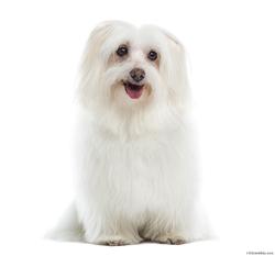 Candi, chien Bichon maltais