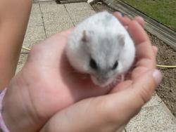 Candice Au Ciel, rongeur Hamster