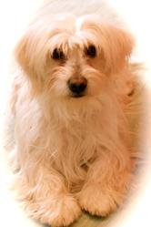 Candie, chien Coton de Tuléar