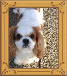 Candie, chien Cavalier King Charles Spaniel