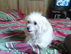 Candy, chien Bichon maltais