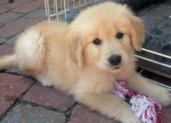 Candy, chien Golden Retriever