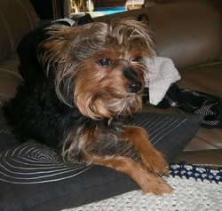 Candy Repose En Paix, chien Yorkshire Terrier