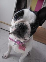 Candy, chien Bouledogue français