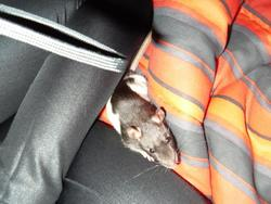 Candy, rongeur Rat
