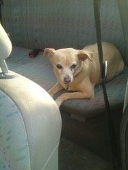 Candy, chien Pinscher