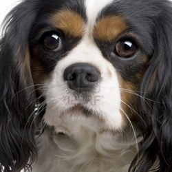 Candy, chien Cavalier King Charles Spaniel