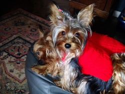 Candy, chien Yorkshire Terrier