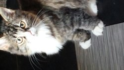 Candy, chat Maine Coon