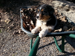 Candy, chien Berger australien