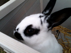 Candy, rongeur Lapin