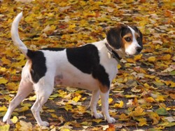 Candy, chien Beagle