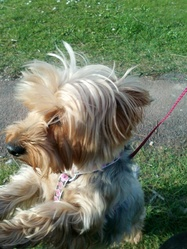 Canel, chien Yorkshire Terrier