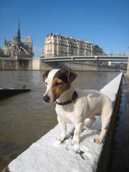 Canel, chien Jack Russell Terrier