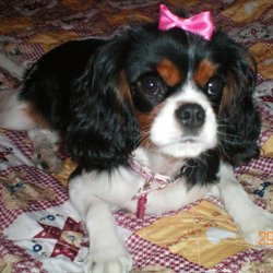 Canelle, chien Cavalier King Charles Spaniel