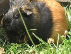 Canelle, rongeur Cochon d'Inde