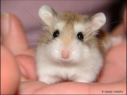 Canelle, rongeur Hamster