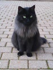 Canelle, chat Norvégien