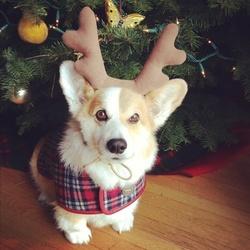 Canelle, chien Welsh Corgi