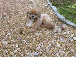 Canelle, chien Lhassa Apso