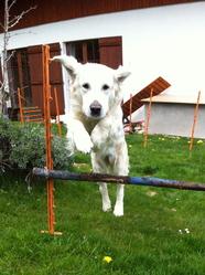Canelle, chien Golden Retriever