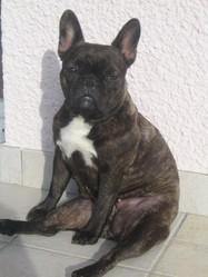 Canelle , chien Bouledogue français