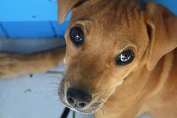Canelle, chien Rhodesian Ridgeback