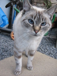 Canelle, chat Siamois