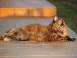 Canelle, chat Persan