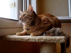 Canelle, chat Européen